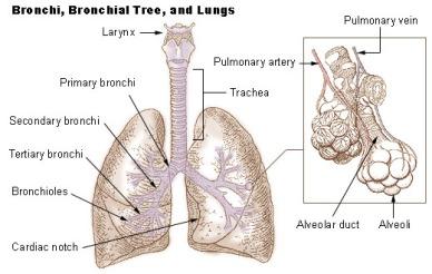 Illu_bronchi_lungs.jpg