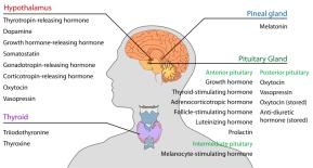 Endocrine glands.png