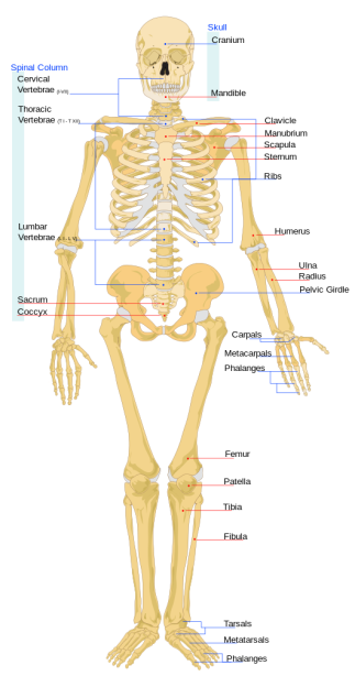 Musculoskeletal system.png