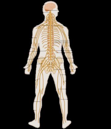 TE-Nervous_system_diagram.png